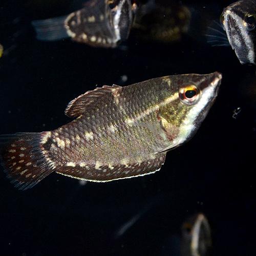 スファエリクティス バイランティ S〜SMサイズ 3匹 (熱帯魚)