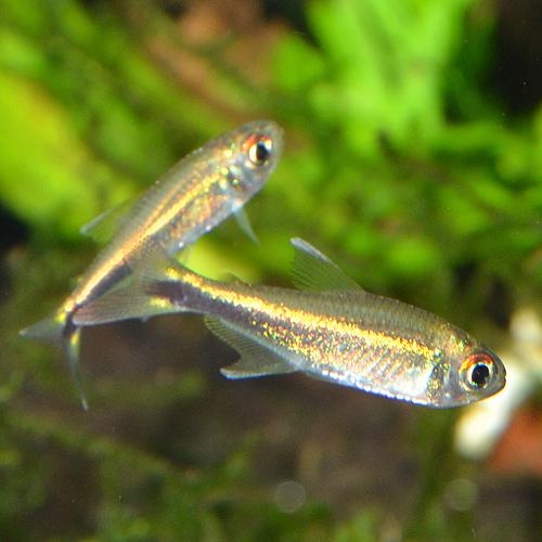 ハイフェソブリコン・メタエ 1匹 (熱帯魚)