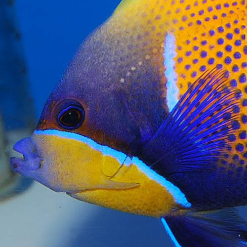 イナズマヤッコ  ML〜Lサイズ 2825s (海水魚)