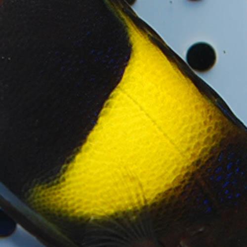 アズファー  ブリード個体 S〜SMサイズ 2713s (海水魚)