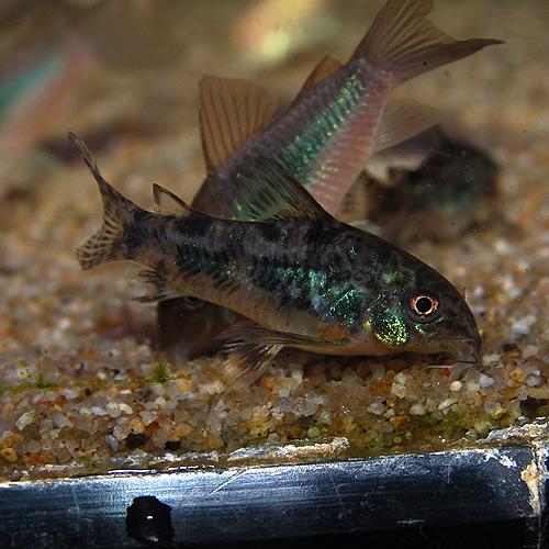 Co.パレアタス(ブリード個体) 1匹(熱帯魚)