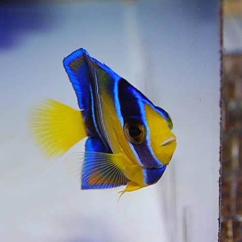 クイーンエンゼル カリブ産 S〜SMサイズ 2825s4 (海水魚)