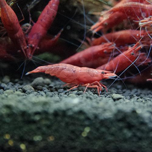 ファイヤーレッドチェリーシュリンプ 合計5匹(4匹+1匹サービス)(熱帯魚)
