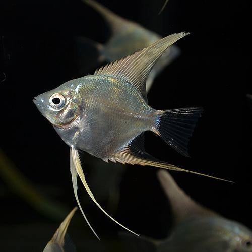 プラチナエンゼル S〜SMサイズ 3匹 (熱帯魚)