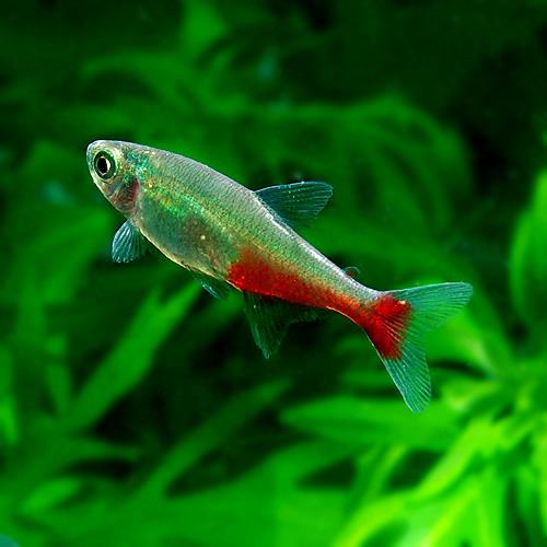 グリーンファイヤーテトラ 1匹 (熱帯魚)