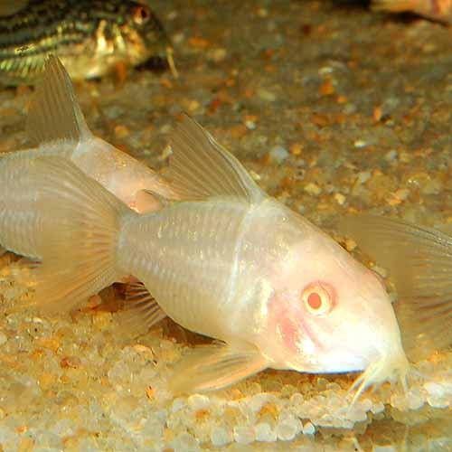 Co.アルビノステルバイ(ブリード個体)1匹(熱帯魚)