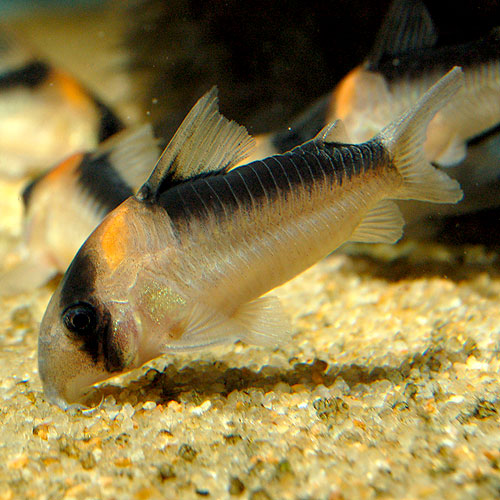 Co.デュプリカレウス(ワイルド個体) (熱帯魚)