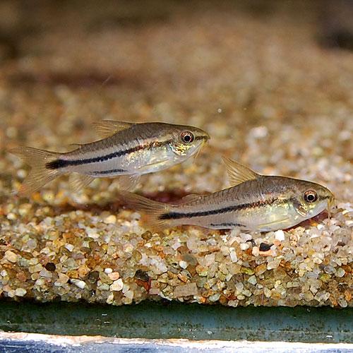 Co.ピグマエウス10匹(熱帯魚)