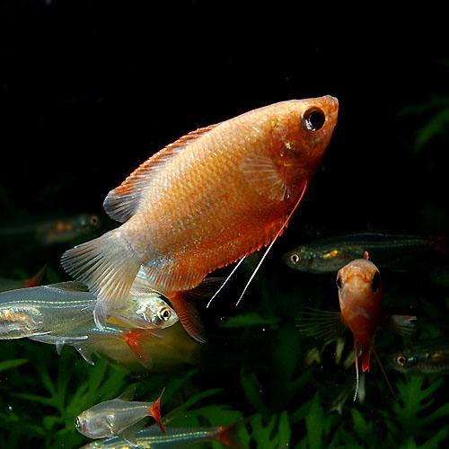 レッド・グラミー 1匹 (熱帯魚)