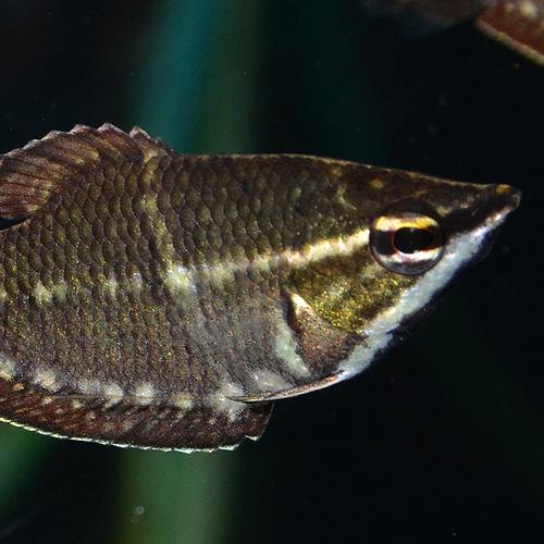 スファエリクティス バイランティ SM〜Mサイズ ♂2♀1 合計3匹 (熱帯魚)