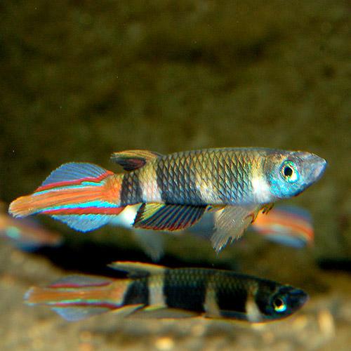 シュードエピプラティス・アニュレイタス Lサイズ 3匹 (熱帯魚)