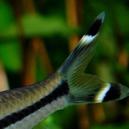 レッドライン・トーピードバルブ Mサイズ 3匹(熱帯魚)