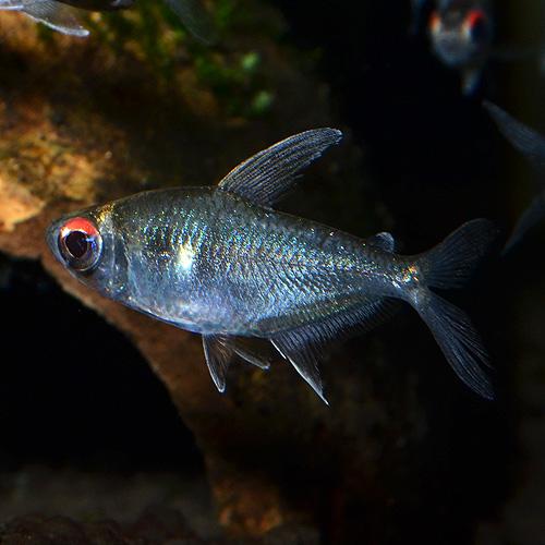 オジョロジョテトラ 3匹 (熱帯魚)