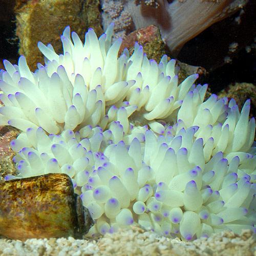 シライトイソギンチャク   S〜Mサイズ (海水魚)