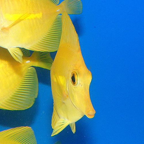 キイロハギ   SM〜Mサイズ (海水魚)