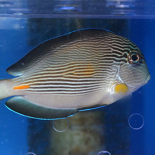 ソハール・サージョン M〜MLサイズ (海水魚)
