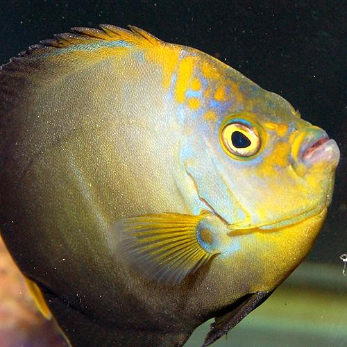 アカネキンチャクダイ(マゼエンゼル)(海水魚)