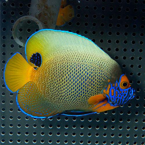 アデヤッコ   M〜MLサイズ (海水魚)