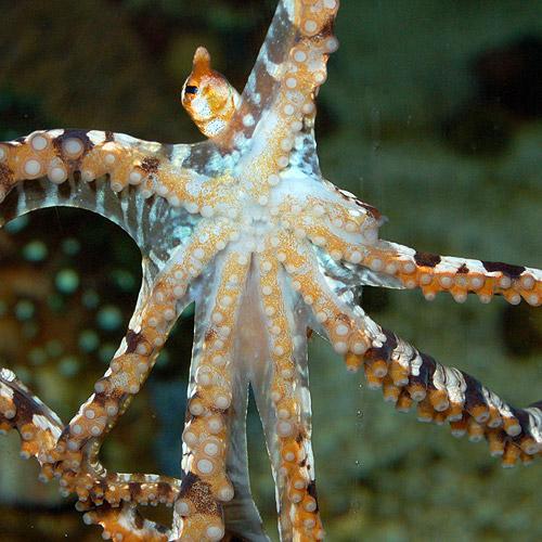 ゼブラオクトパス(海水魚)