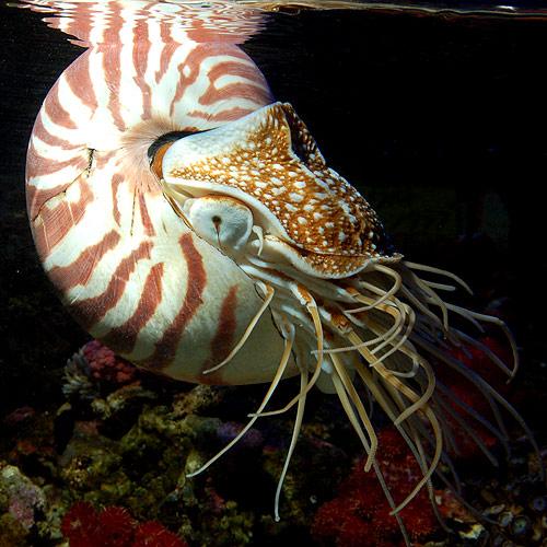 オウムガイ (海水魚)