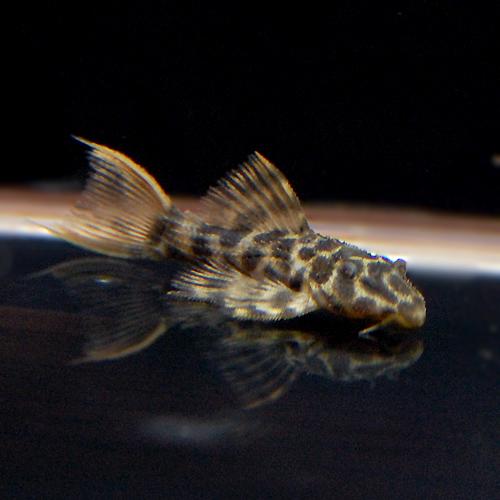 オレンジフィンレオパードトリムプレコ ベビー(熱帯魚)