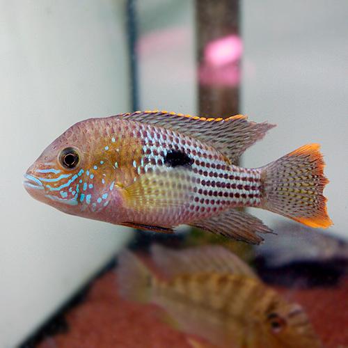 グリーンテラー(M) (熱帯魚)
