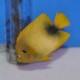 ウエストアフリカンエンゼル  ML〜Lサイズ 1025 (海水魚)