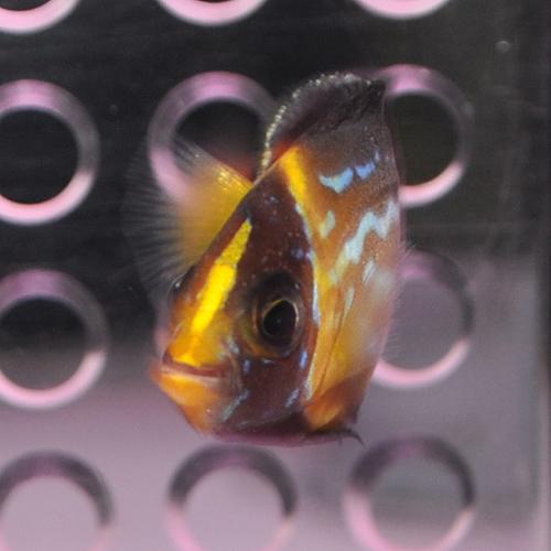 キンチャクダイ 1025  (海水魚)