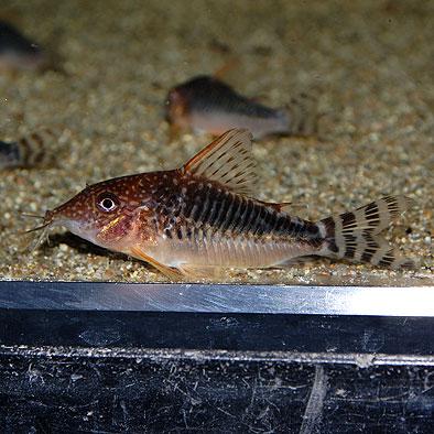 Co.セウシィ(ロングノーズゴッセイ) (ワイルド個体)(熱帯魚)