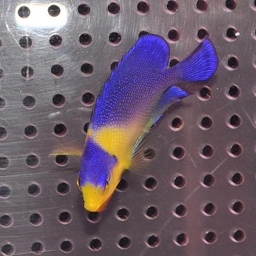 スミレヤッコ S〜SMサイズ 1025 (海水魚)