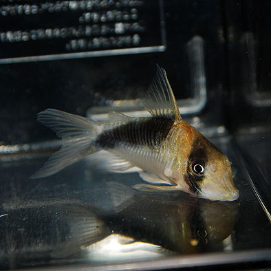 Co. セミロングノーズ ブロードバンドデビッドサンジー0327a(ワイルド)(熱帯魚)