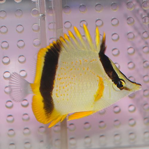 マルセラバタフライ S〜SMサイズ 1025 (海水魚)