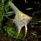 アルビノペルーアルタム SMサイズ 1匹(熱帯魚)