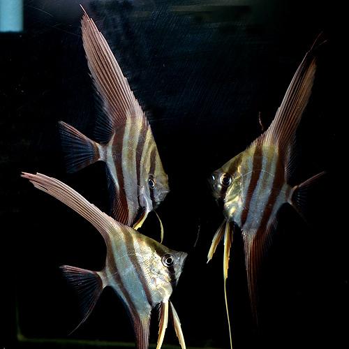 【限定特価】アルタムエンゼル ML〜Lサイズ 3匹 (熱帯魚)