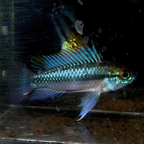 "Ap トリファスキアータ 1pr ""欧州ブリード"" 0429d (熱帯魚)"