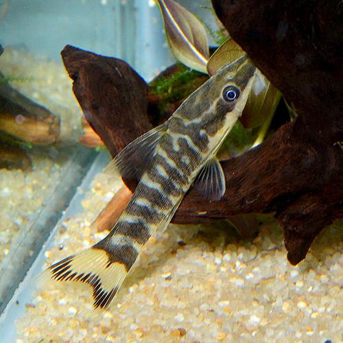 ニューゼブラオトシン 1匹 (熱帯魚)