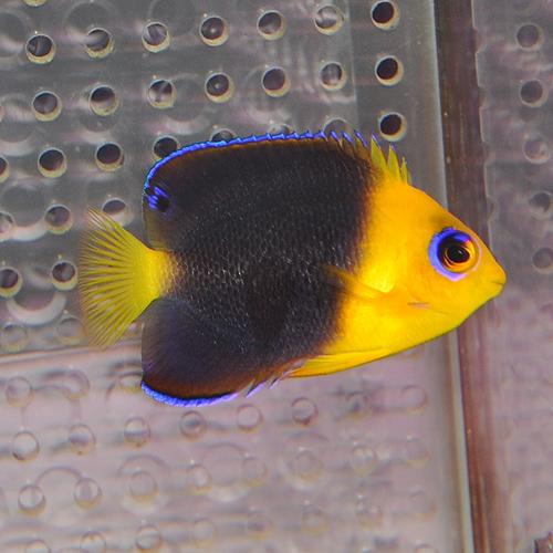 ココスピグミーエンゼル S〜SMサイズ 110101 (海水魚)