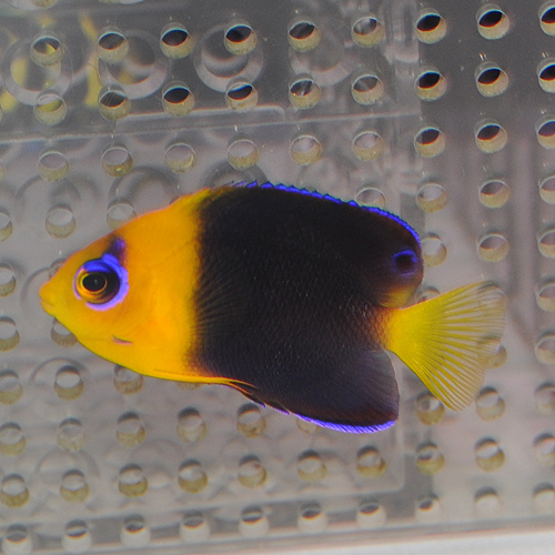 ココスピグミーエンゼル S〜SMサイズ 110102 (海水魚)