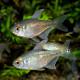 ダイヤモンドテトラ Mサイズ 1匹(熱帯魚)