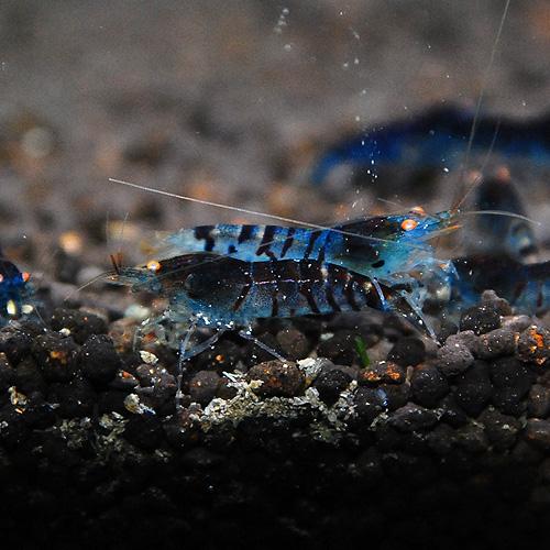 ゴールデンアイシュリンプダークブルー5匹(熱帯魚)