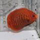 ゴールデンエンゼル SS〜Sサイズ 1101 (海水魚)