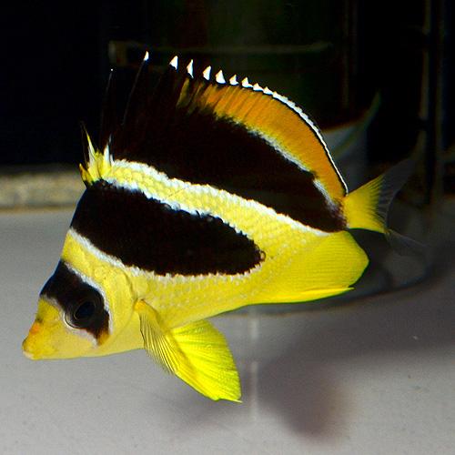 インディアンバタフライフィッシュ SM〜Mサイズ 1801a(海水魚)