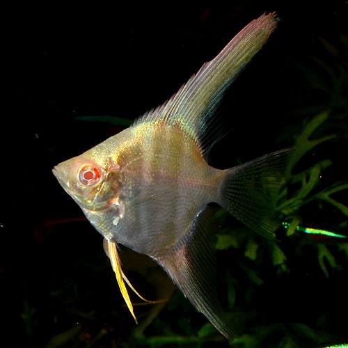 アルビノペルーアルタム SMサイズ 3匹(熱帯魚)