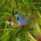 ブルーバルーンラム MLサイズ 1匹 (熱帯魚)