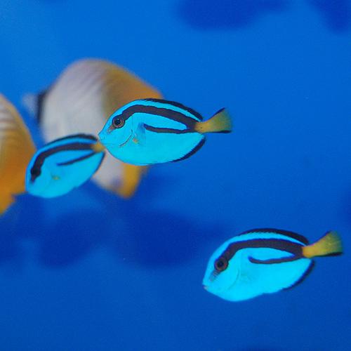 ナンヨウハギ   S 1匹(海水魚)