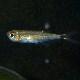 アロワナテトラ トカンチスブルー 1匹 (熱帯魚)