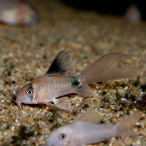 Co.ロングフィンパンダ(ブリード)1匹(熱帯魚)