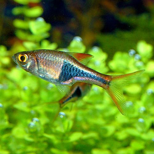 ラスボラ・ヘテロモルファ 合計5匹 (4匹+1匹サービス)(熱帯魚)