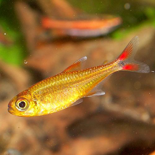 ハセマニア SPオレンジ(ウォルターテトラ)(1匹)(熱帯魚)