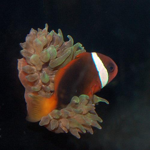 サンゴイソギンチャク グリーン (海水魚)